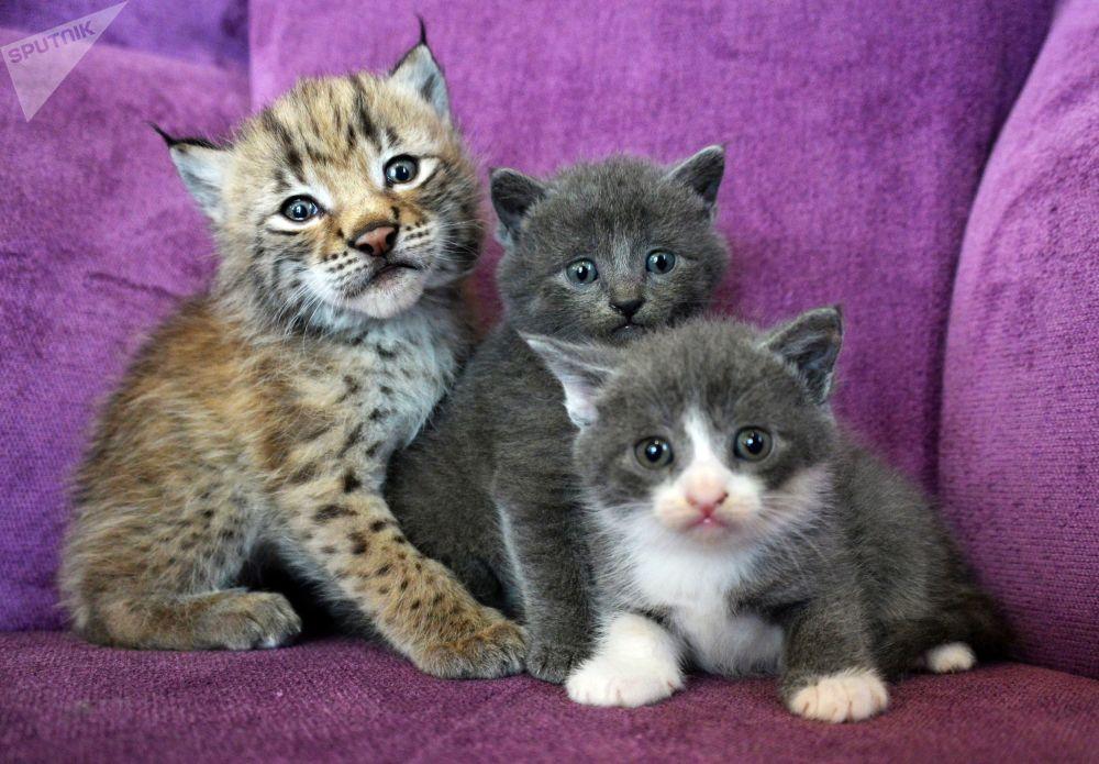 Un chat a allaité un bébé lynx dans un zoo de l'Extrême-Orient russe