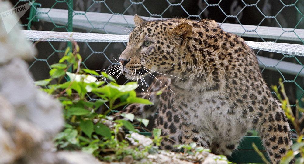 Une femelle léopard à Sotchi