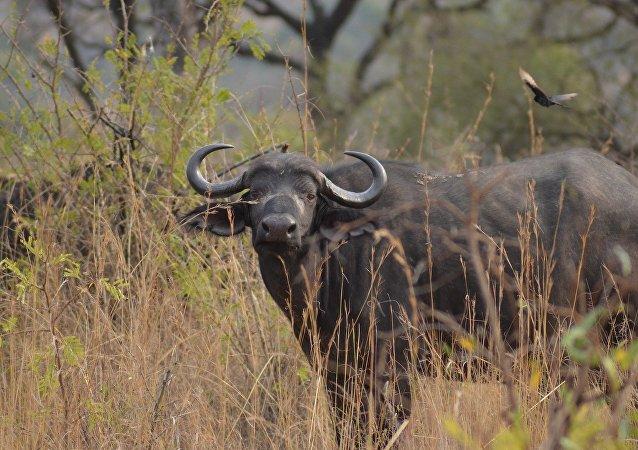 Un buffle d'Afrique