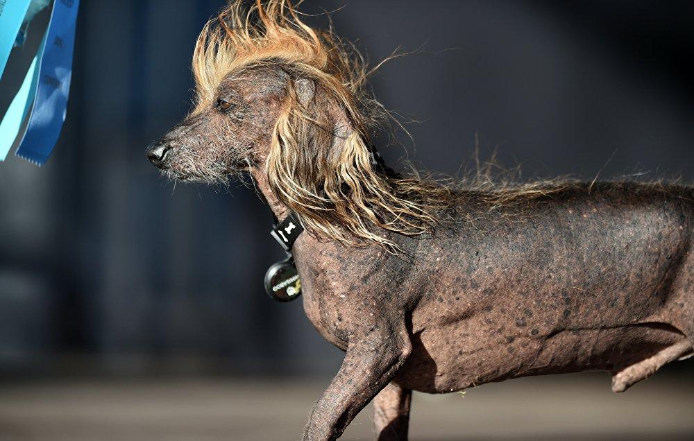 Le chien le plus laid du monde et ses concurrents