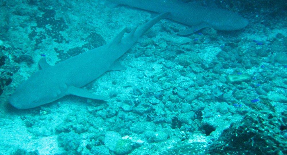 Des requins nourrices fauves