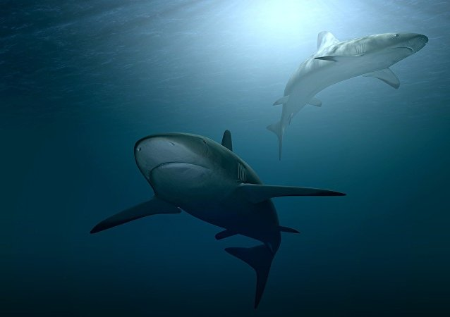 Requins (image d'illustration)