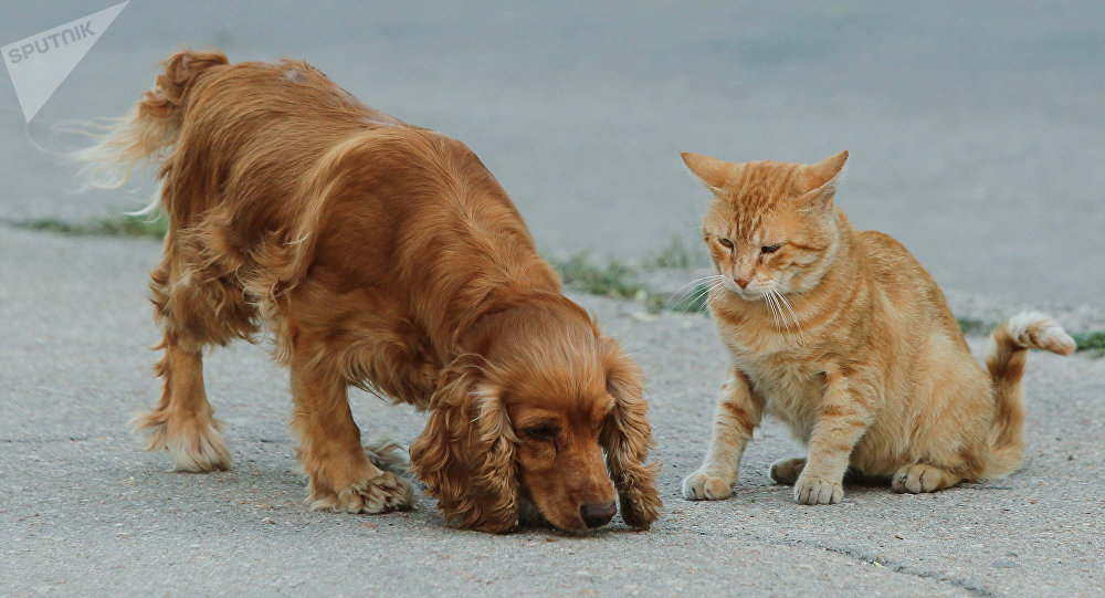 Un cocker spaniel et un chat roux
