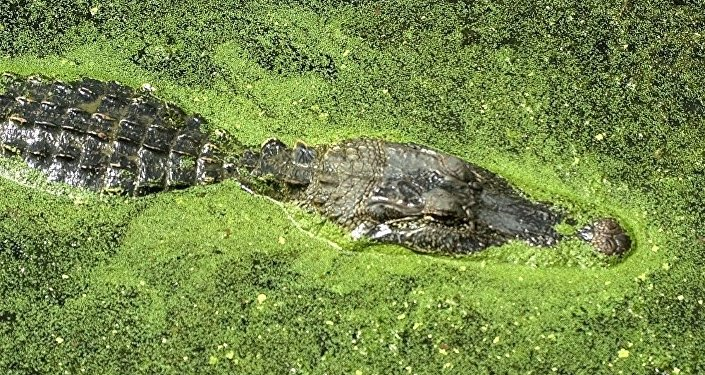 An alligator floats atop the water of 40-acre lake at Brazos Bend State Park in Needville, Texas