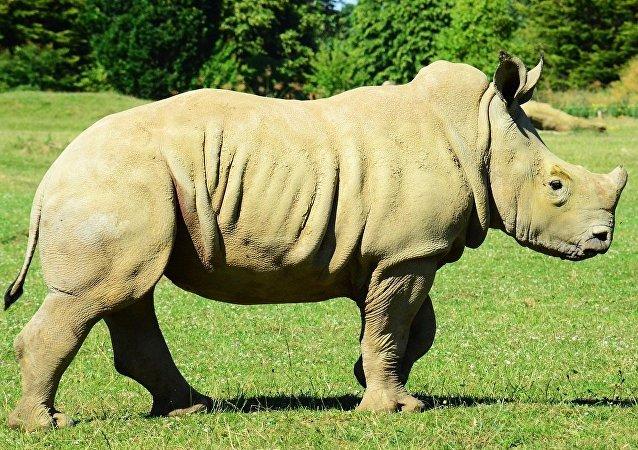 Un rhinocéros blanc