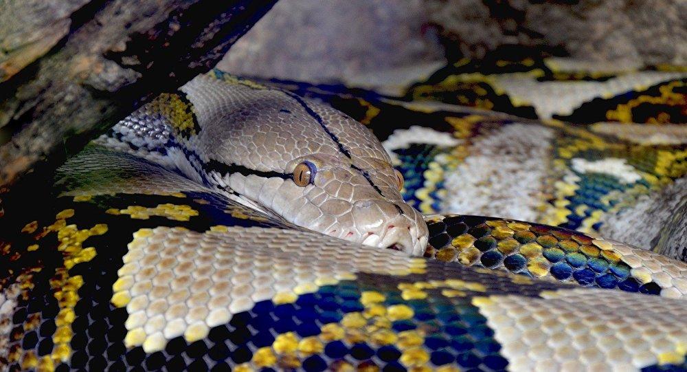 Un python réticulé