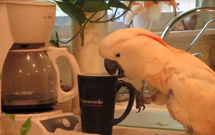 La matinée débute avant tout par un café! Même pour les perroquets