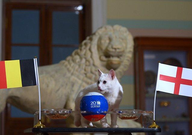 Achille le chat prédit la victoire de la Belgique sur l'Angleterre