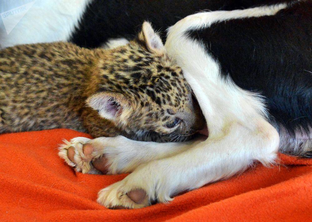 Une chienne adopte un bébé léopard