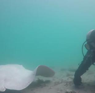Images rarissimes: une raie albinos s'approche de plongeurs