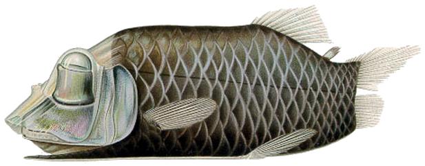 Le poisson Barreleye