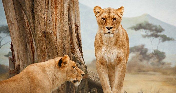 Des lionnes