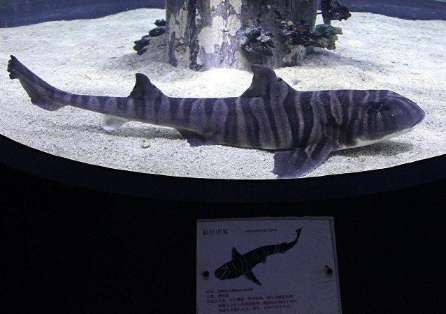 Requin dormeur zèbre