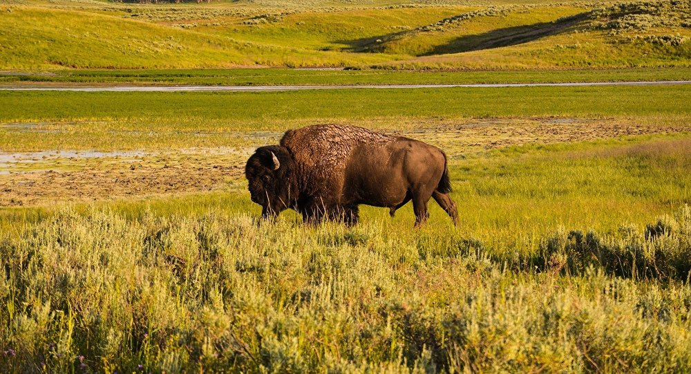 Un bison de Yellowstone