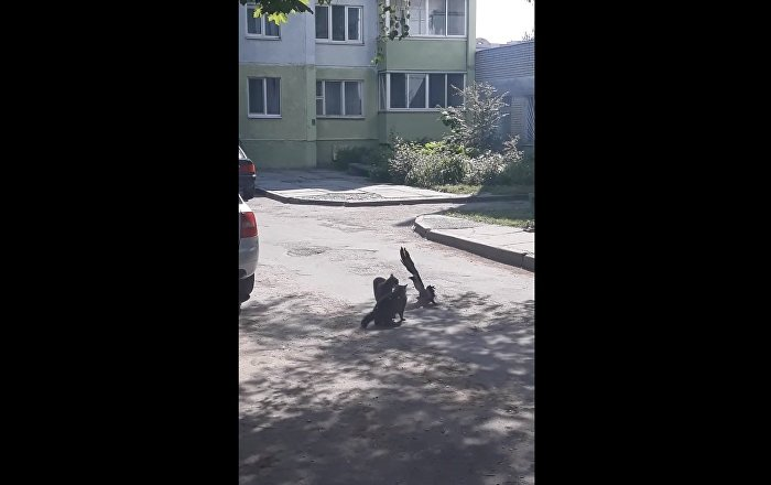 Courageous Crow Tries to Stop Feud Between Two Cats    Viralhog