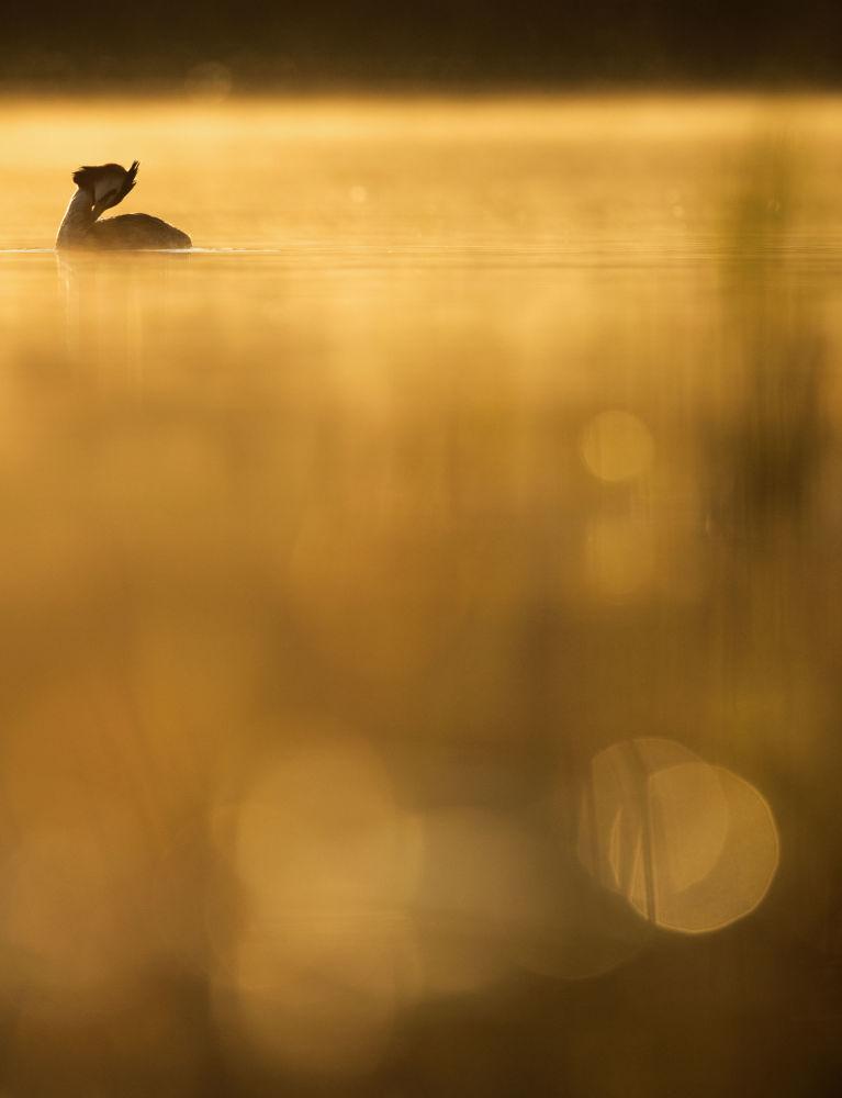 Crested Grebe Morning, par le photographe suédois Johan Carlberg, gagnant dans la catégorie Young Bird Photographer of the Year du concours de photographie Bird Photographer of the Year 2018.