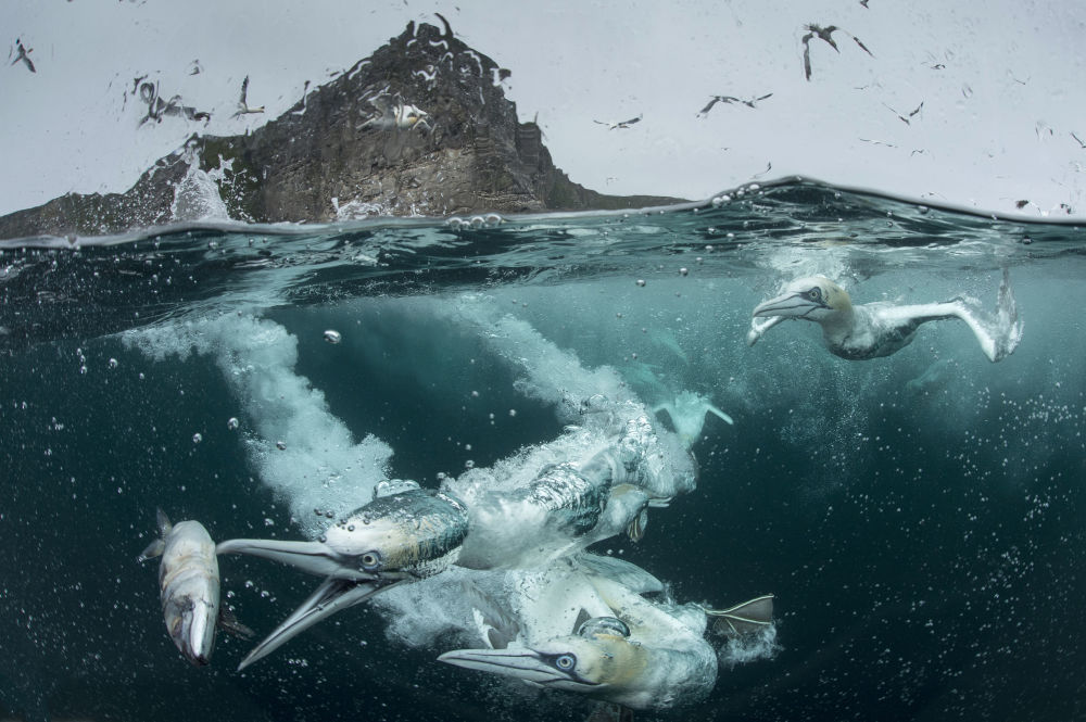 Northern Gannet, par le photographe britannique Richard Shucksmith, gagnant dans la catégorie Bird Behaviour du concours de photographie Bird Photographer of the Year 2018.