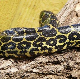 Un anaconda jaune