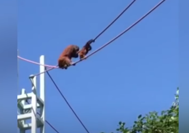 Orangutan mom helps baby cross rope line at Washington zoo