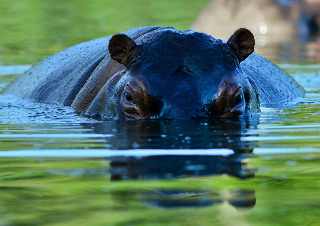 A hippo is seen at the Hacienda Napoles theme park, once the private zoo of drug kingpin Pablo Escobar at his Napoles ranch, in Doradal, Antioquia department, Colombia on June 22, 2016