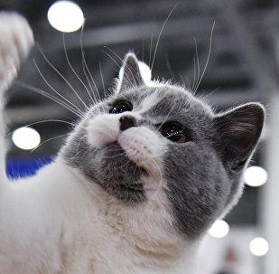 Un chat de race British (image d'illustration)