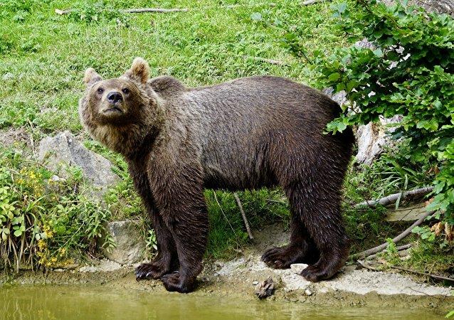 Un ours brun (image d'illustration)