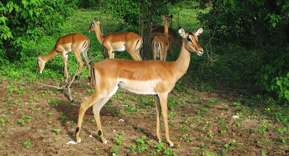 Une antilope impala