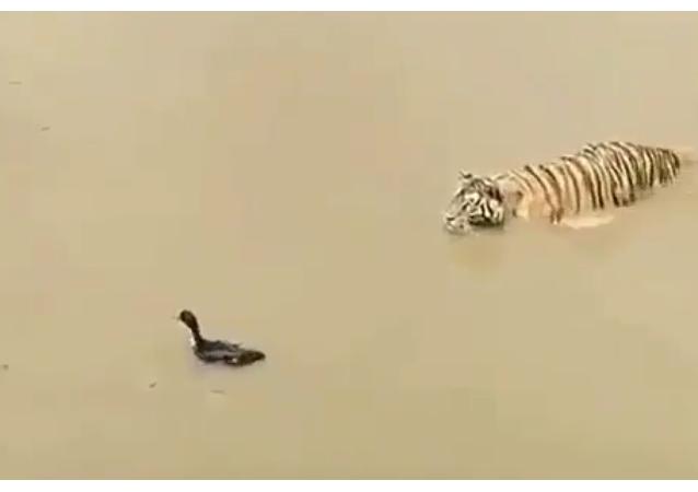 Ce canard rusé connaît la technique pour échapper aux griffes de ce tigre