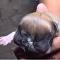 Perro de dos cabezas nace en Bagua