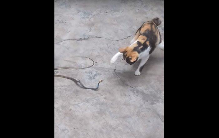 Chat contre serpent: lorsque l'on s'ennuie beaucoup