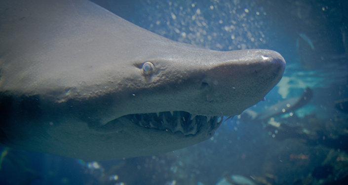 Un requin-tigre
