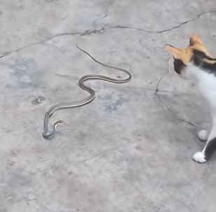 Chat contre serpent: lorsque l'on s'ennuie beaucoup