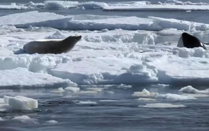 Comment les orques balayent-ils les phoques hors des glaces