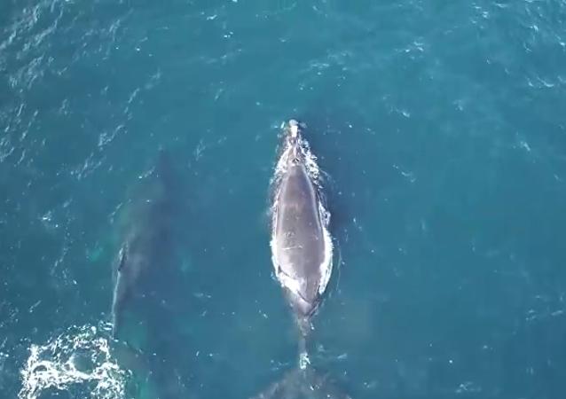 baleine franche du Pacifique Nord