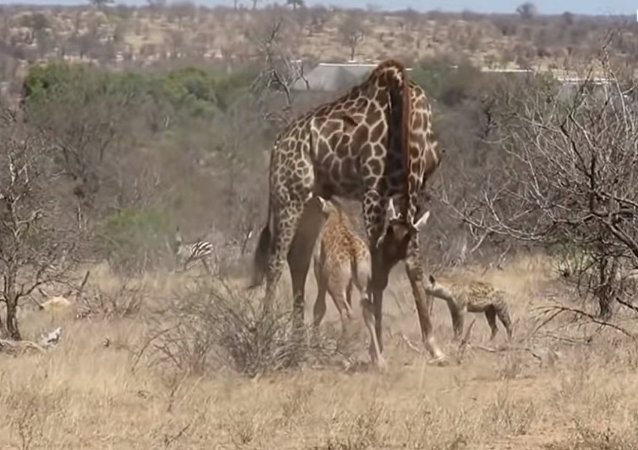 Mother giraffe protects injured calf from hungry hyenas in South Africa