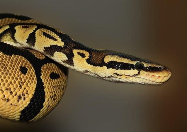 Un python roya