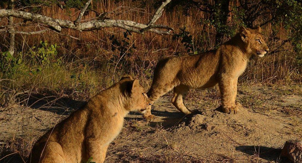De jeunes lions