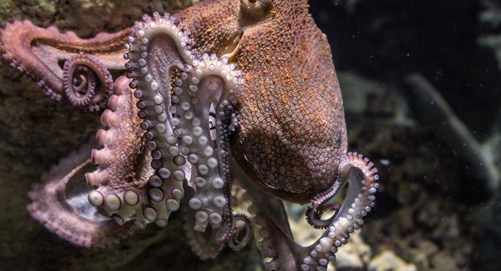 Une pieuvre (image d'illustration)