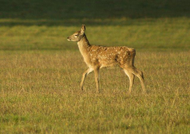 Un Bambi