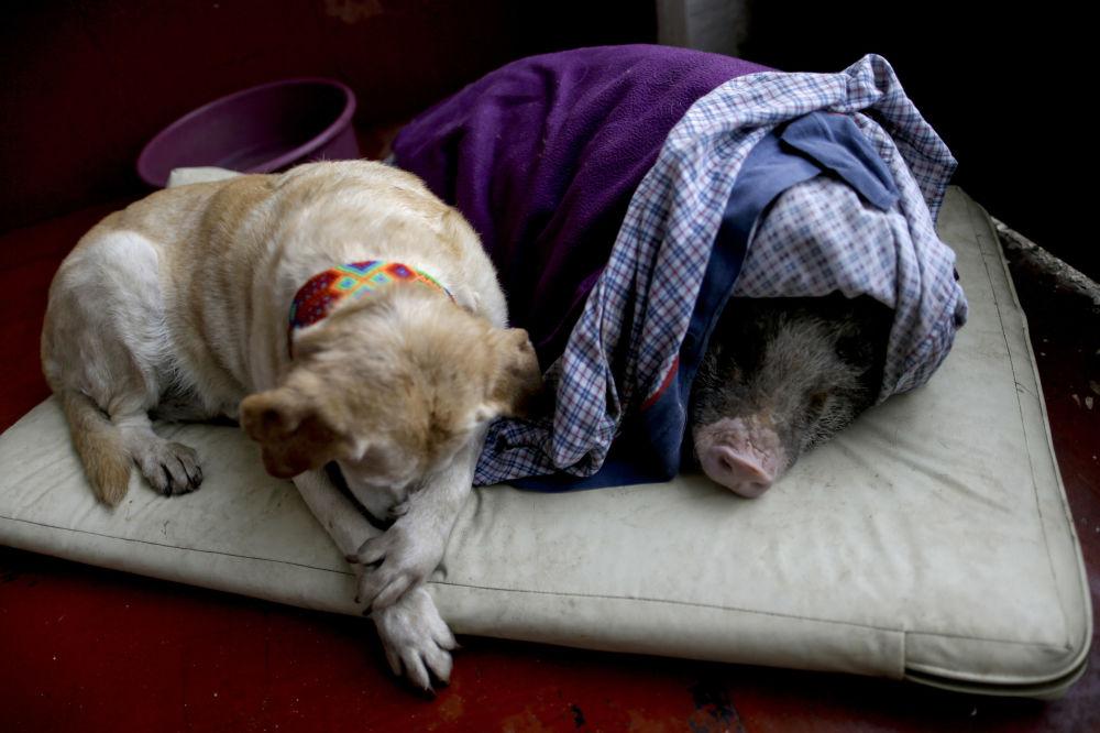 La chienne Algeria et le porc Jacinto dans un abri provisoire lors d'un tremblement de terre à Mexico