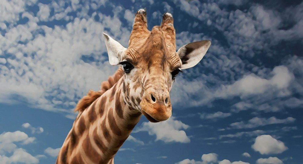 Une girafe résiste à six lions affamés et triomphe de ses ennemis (vidéo)