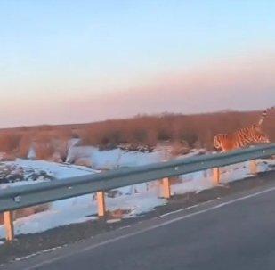Un tigre traverse une route tout près des voitures dans l'Extrême-Orient russe