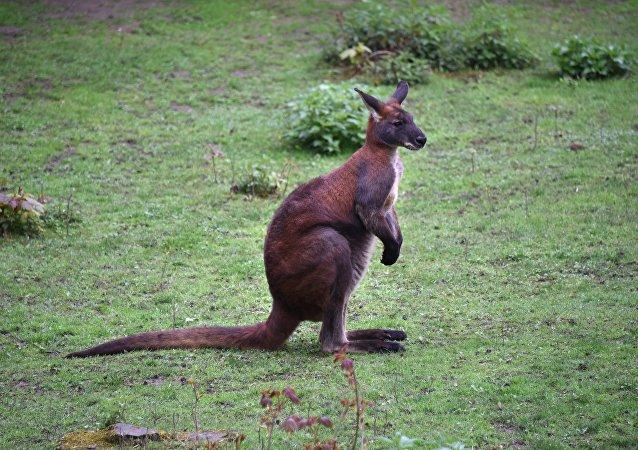 Un kangourou