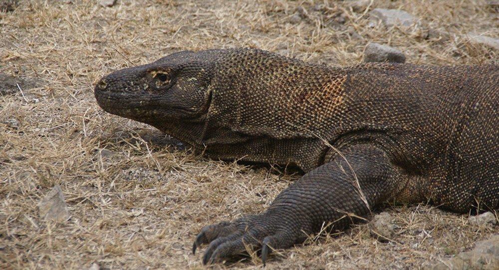 Un dragon de Komodo