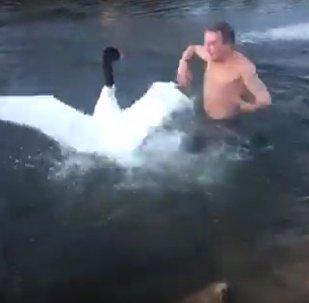 Un sygne agressif attaque un nageur