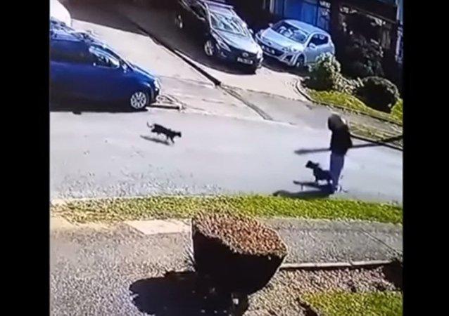 Un chat belliqueux attaque un chien et son maître