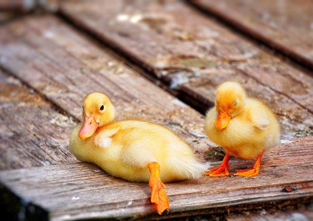 Des petits canards (image d'illustration)