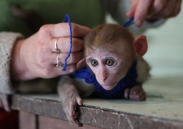 Un macaque rhésus