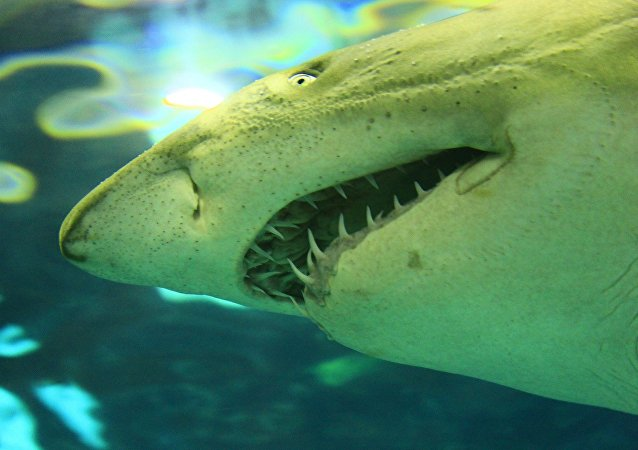 Un requin blanc