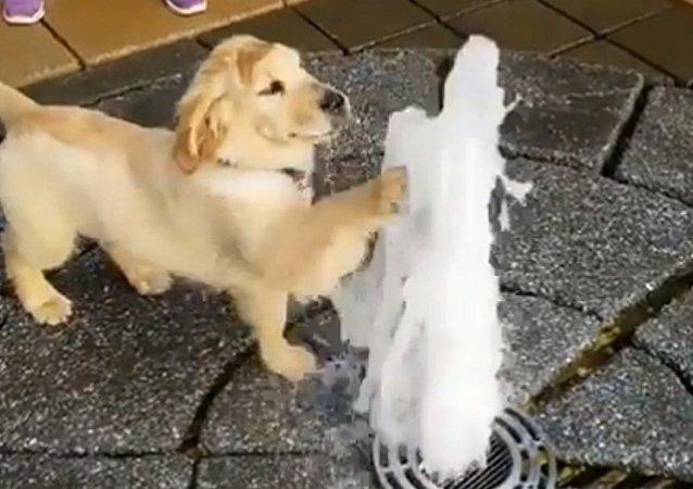 Ce golden retriever adore les fontaines